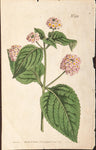 Edwards, Sydenham (1768-1819): Lantana - Flowering Green plant, Plate. no. 1022
