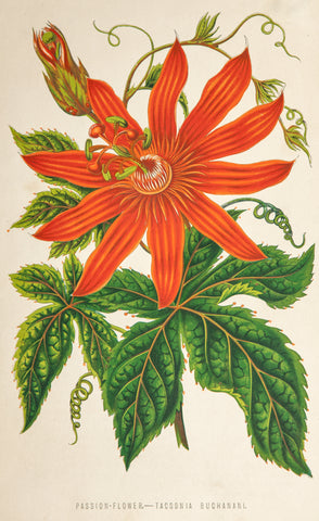 Unknown Artist: Passion Flower - Tacsonia Buchanani