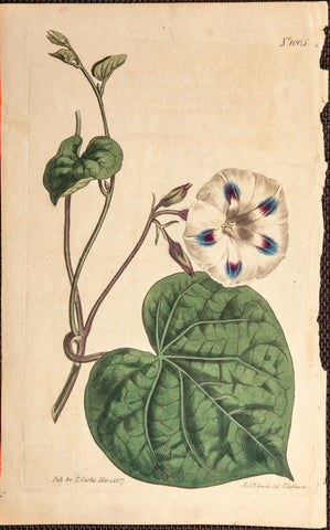 Edwards, Sydenham (1768-1819); Curtis, William (1746-1799): Ipomoea purpurea (L.) Roth [as Convolvulus purpureus L.] Flower from Curtis Botanicals, plate 1005