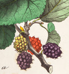Unknown artist:  BLACKBERRIES Fruit - RARE hand coloured lithograph, 1835