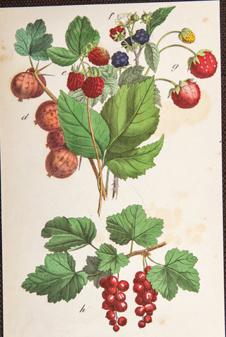 Unknown,1835: BERRIES Fruit - RARE hand coloured lithograph