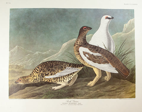 Audubon, John James (1785 - 1851): Rock Grouse, plate 368 - Audubon Amsterdam Double Folio