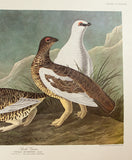 Audubon, John James (1785 - 1851): ROCK GROUS, Plate 368 - Amsterdam Ed. Audubon FOLIO Birds Of America Print