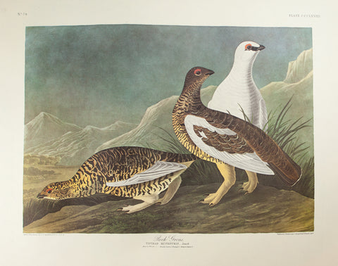 Audubon, John James (1785 - 1851): Rock Grous or Ptarmigan. 368 - Birds of America Amsterdam Edition FOLIO