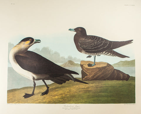 Audubon, John James (1785-1851): Richardson's Jager, plate 272 - Audubon Bird of America Folio, Amsterdam Edition
