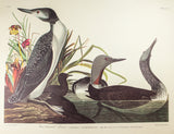 Audubon, John James (1785-1851): Red-Throated Diver, plate 202 - Audubon Birds of America Folio, Amsterdam Edition