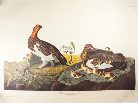 Audubon, John James (1785 - 1851): Amsterdam Ed. Audubon FOLIO Birds Of America Print WILLOW GROUS 191
