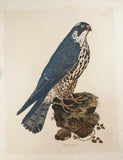 Selby, Prideaux John (1788-1867): Peregrine Falcon - Young Female, Plate XV