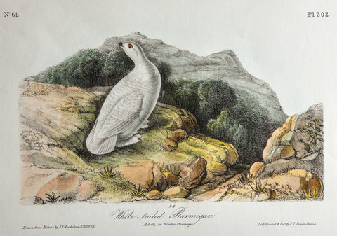 Audubon, John James (1785-1851): White-Tailed Ptarmigan, plate 302