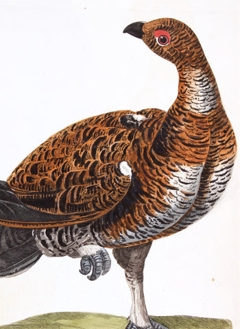 Pennant, Thomas (1726-1798), author; Paillou, Peter (c.1720-c.1790), artist: Cock of the Wood (Tetrao Urogallus)