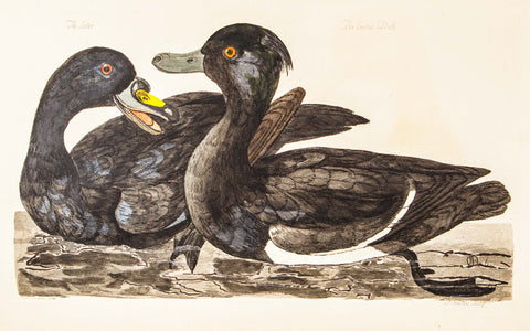Pennant, Thomas (1726-1798), author; Paillou, Peter (c.1720-c.1790), artist: The Scoter, The Crested Duck