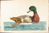 Pennant, Thomas (1726-1798), author; Paillou, Peter (c.1720-c.1790), artist: The Scaup Duck