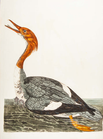 Pennant, Thomas (1726-1798), author; Paillou, Peter (c.1720-c.1790), artist: Water Bird