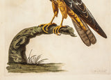Pennant, Thomas (1726-1798), author; Paillou, Peter (c.1720-c.1790), artist: Bird of Prey