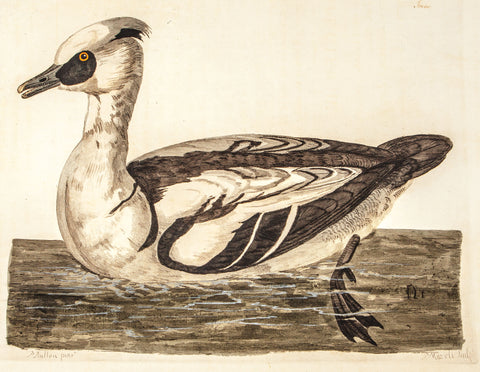 Pennant, Thomas (1726-1798), author; Paillou, Peter (c.1720-c.1790), artist: Smew water bird