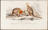 Traviès, Edouard (1809-1876), artist; d'Orbigny, Charles (1806-1876), author: Male and Female Kangaroo with joey. From Digt. Univ. D'Hist. Nat.; Mammiféres,