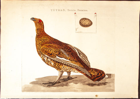 Sepp, Jan Christiaan (1739-1811), artist; Nozeman, Cornelius (1720-1786), author: Female Grouse (Tetrao, Tetrix, Femina)