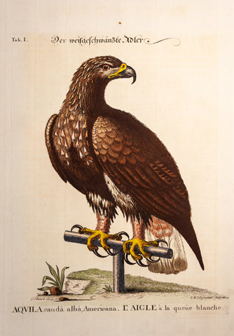 Edwards, George (1694 - 1773), artist; Seligmann, Johann Michael (1720-1762) author: White-Tailed Eagle, Tab. I