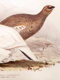 Gould, John (1804 - 1881): Common Ptarmigan