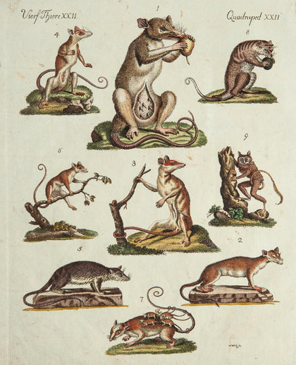 Bertuch, Friedrich Justin (1747-1822), publisher: Various Marsupials, Mice, Rat, etc.