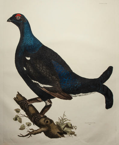 Selby, Prideaux John (1788-1867): Black Grouse - ELEPHANT FOLIO