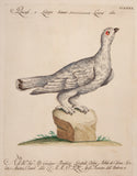 Manetti, Saverio (1723-1785): White Partridge, print 240.