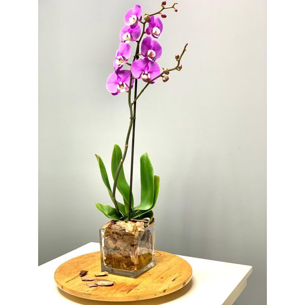 Phalaenopsis Orchid Single Stem - Real Fresh Plant - Upscale and Posh - Same Day Flower Delivery Dubai