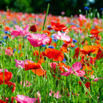 Butterfly & Bee Wildflower Seed Mix