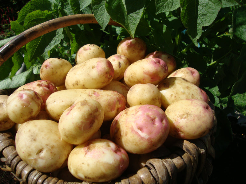 Seed Potatoes 'King Edward' 2KG