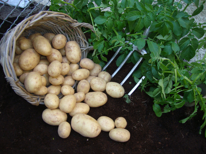 Seed Potatoes 'Swift' 2.5KG