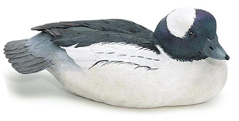 Bufflehead Duck with Lowered Head