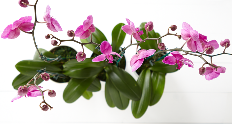How to choose top quality Orchid