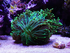 LPS Large polyp stony corals