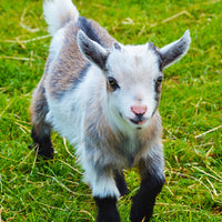 Showmaker Pygmy Goat with Rumensin 50 lb.
