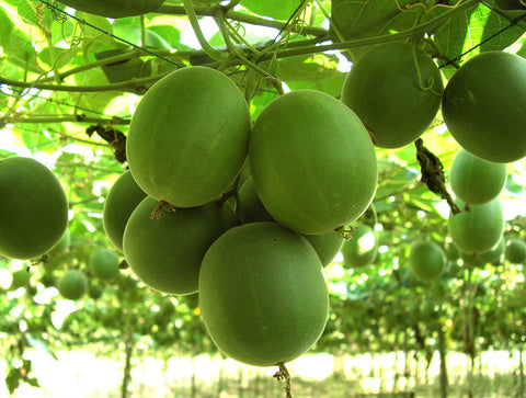 Monk fruit, a deliciously sweet super fruit that has been cultivated in the remote mountains of Southern China for hundreds of years