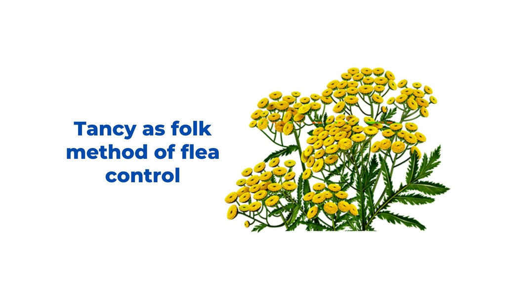 Image-tancy-as folk-method-of-flea-control