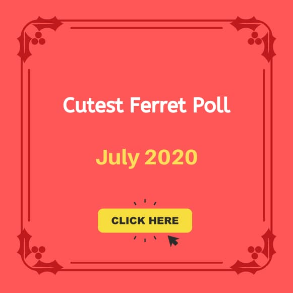 Cutest Ferret Poll