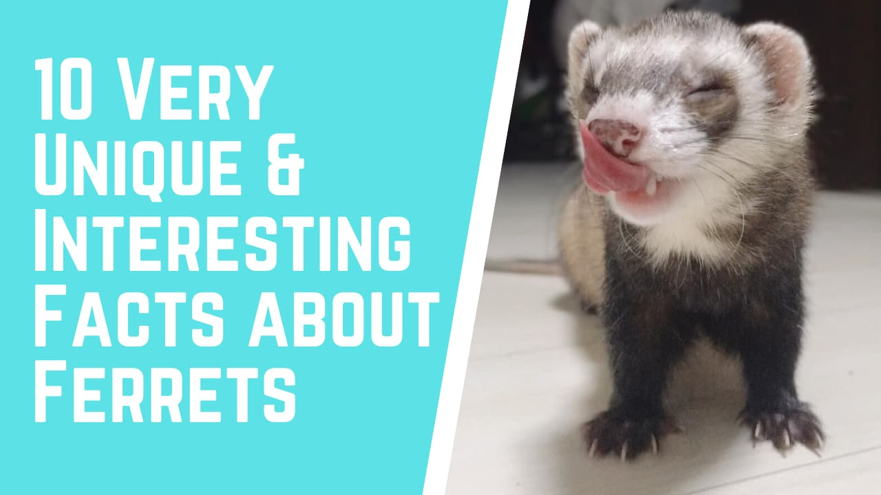 10 Very Unique & Interesting Facts about Ferrets