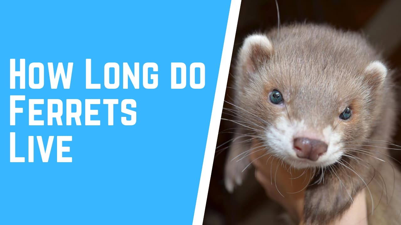 ferret lifespan