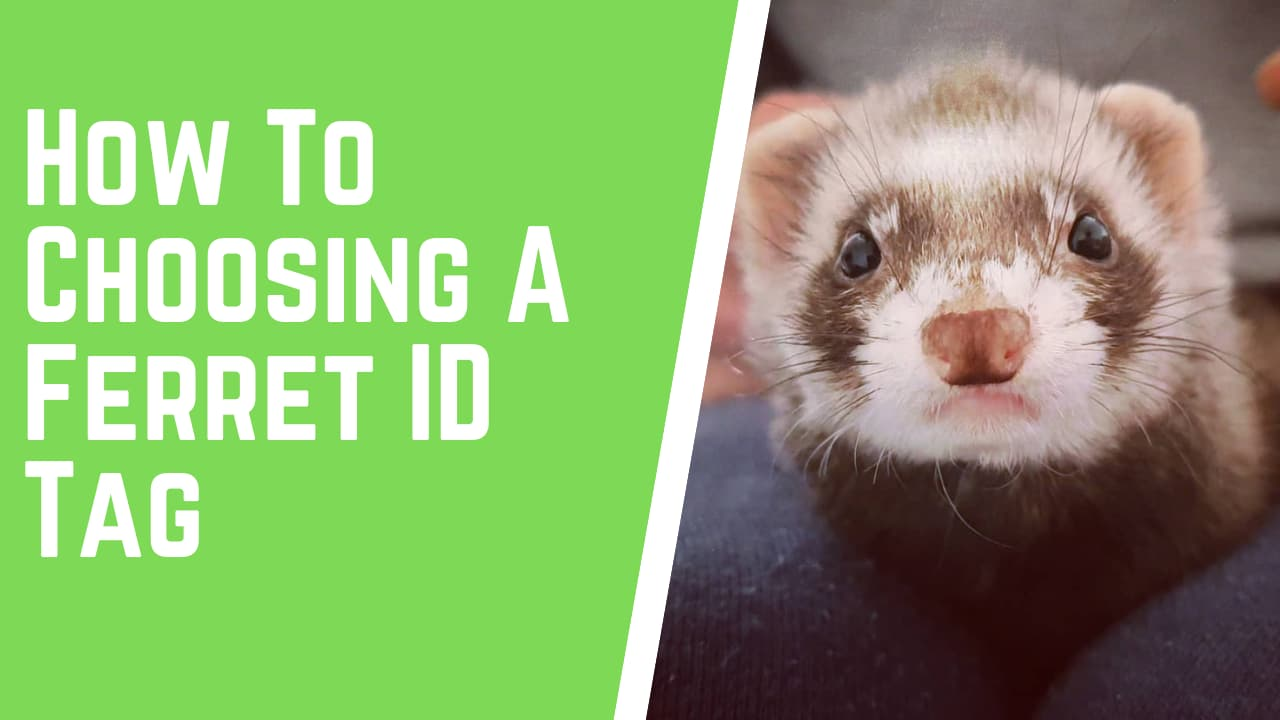 How To Choosing A Ferret ID Tag