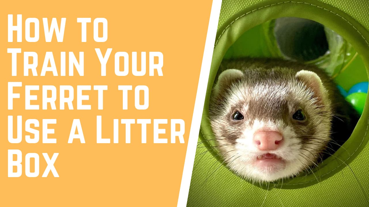 How to Train Your Ferret to Use a Litter Box