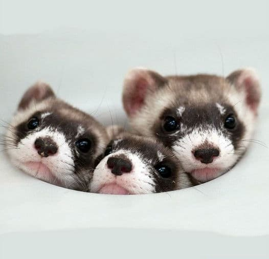 where is the best place to buy a ferret