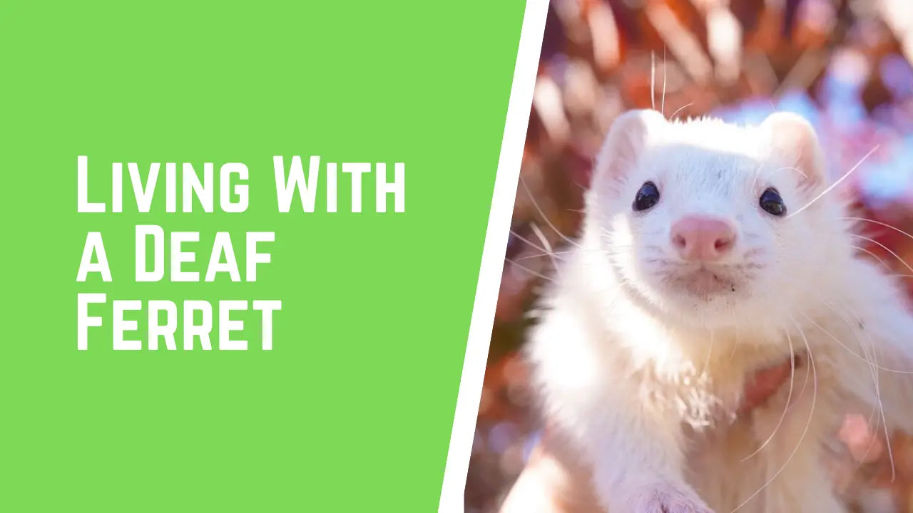 deaf ferret care