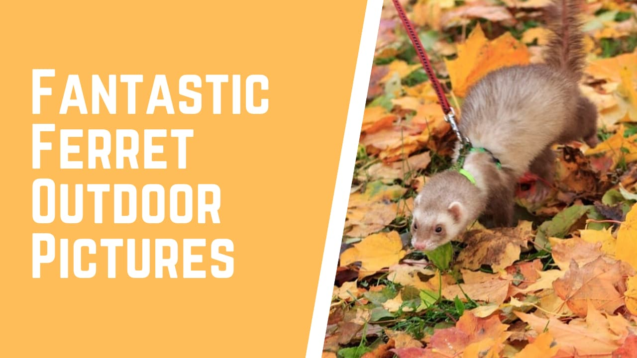 ferret pictures in the wild