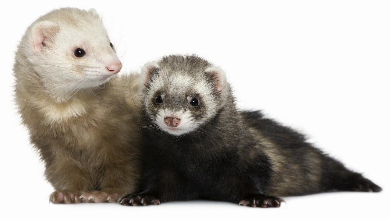 The Simple Guide to Buying a Ferret Baby Online