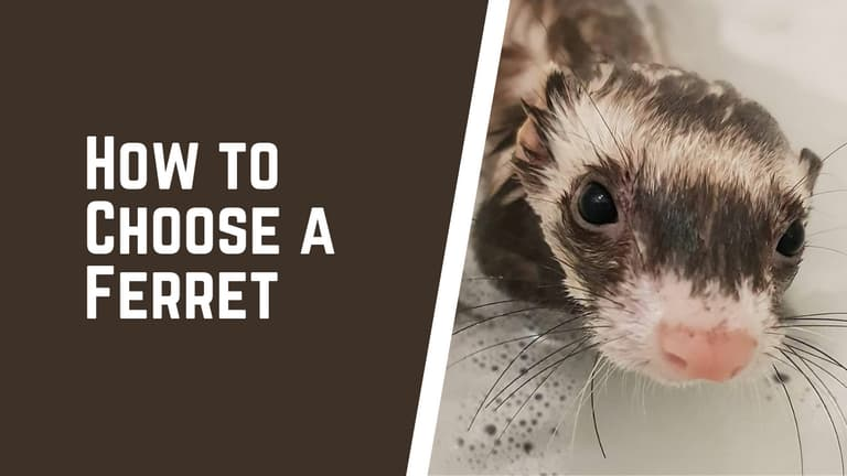 How to Choose a Ferret