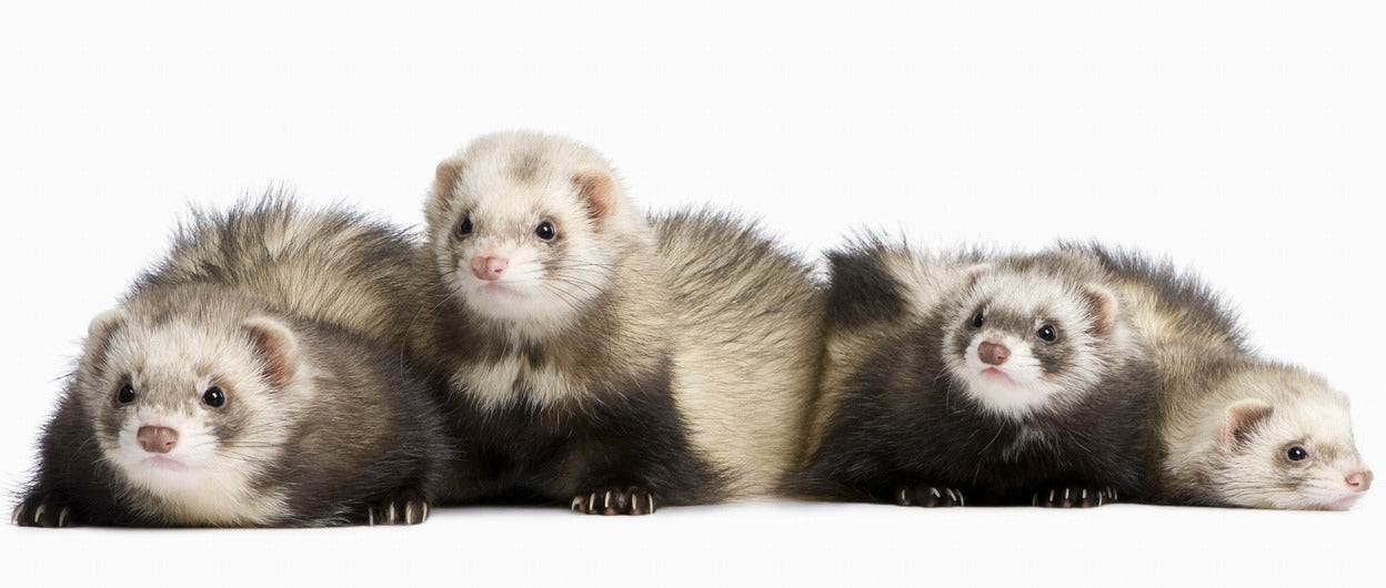 The Definitive Guide to Types of Ferrets
