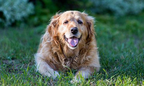 3 Benefits of Antioxidant Support for Dogs