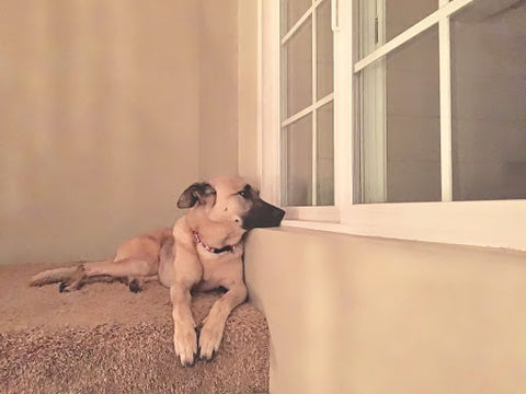 dog-looking-out-window