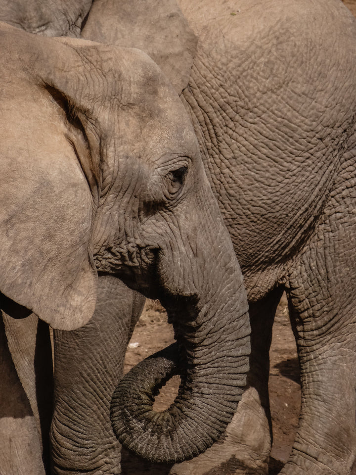 Elephants are Losing Their Tusks